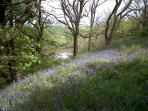 Bluebells at Fewston and Swinsty reservoirs - a lovely nearby walk from the cottages