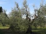 Typical Tuscan olive grove.