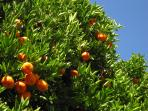 Fruits in our citrus grove