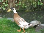 The Duck who thinks he's a chicken
