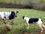 Pepsi the farm dog talks to one of our cattle
