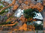 Baobab trees in late afternoon light.