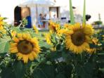 See the sunflowers, in the fields and in our garden