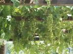 Grapes on the pergola - help yourself!