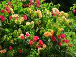 The estate is dotted by colorful bougainvillea