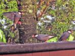 Java Sparrows and other Island Birds will Greet you Everyday by the Bird Feeder