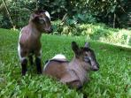 Our baby goats.