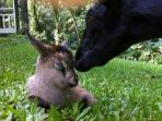 Mama goat with baby.