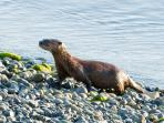 One of our resident otters after a successful fishing trip