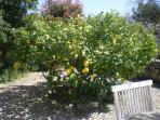 Pick your own lemons on your private terrace