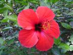 Lovely hibiscus brightens up the garden!