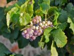 grapes that ripen in the summer sun