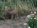 Island deer are frequent cottage visitors
