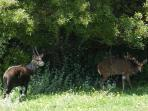 Bushbuck visiting, Angels Rest Farm
