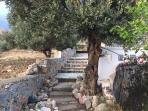 Our olive tree with steps to the side