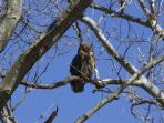 Vista's feathered caretakers include this owl you may see in the trees surrounding Vista.