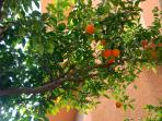 One of two orange trees in the private garden