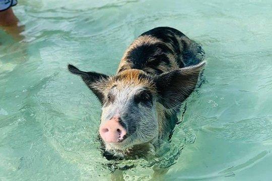 Eleuthera Swimming Pigs, Snorkeling, Wild Turtles & Beach Bar & Grill