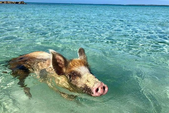 All Inclusive Boat Tour to the Famous Pink Sands Beach & Eleuthera Swimming  Pigs