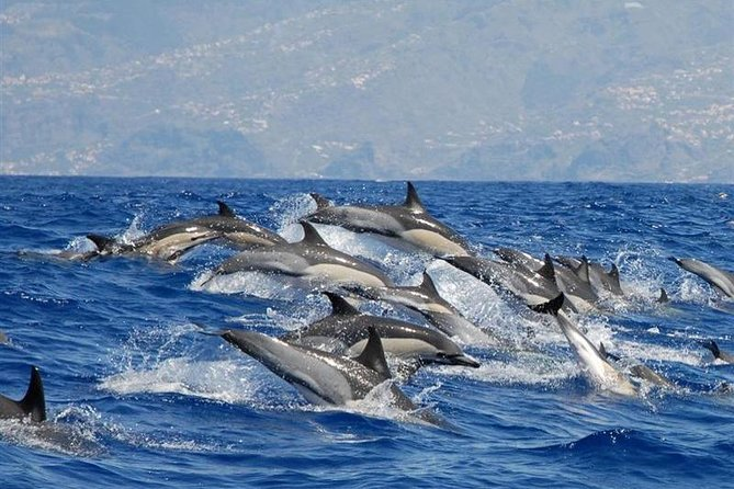 Whale and Dolphin Watching in Madeira Island