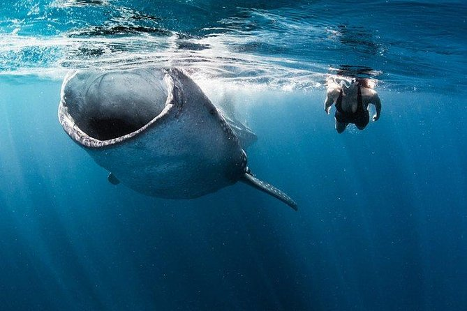 Whale Shark Snorkeling Tour from Cancun and Riviera Maya