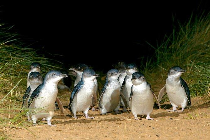 Phillip Island Penguin, Brighton Beach, Moonlit Sanctuary from Melbourne