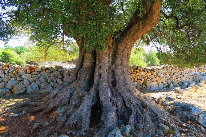 Walk Through the Olive Gardens of Lun