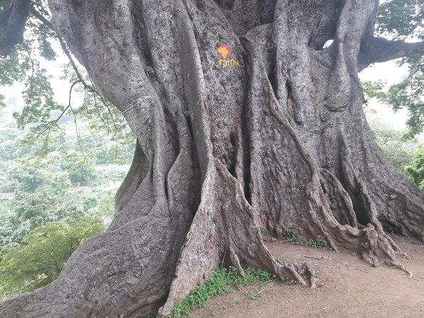 Assomada - Market- Old Tree