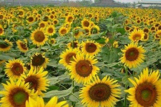 Nansha sunflower garden and wildbirds wetland park private tour