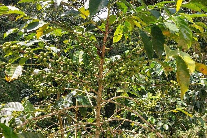 Coffee Plantation Experience