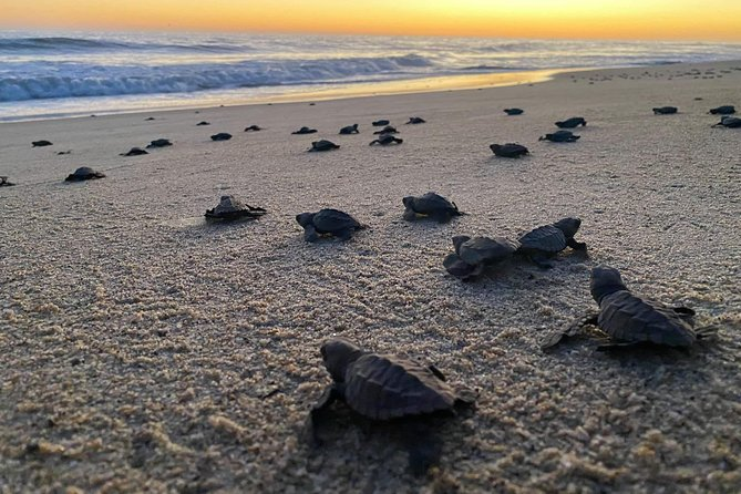 Baby Turtle Release in Coyote Escobilla Beach