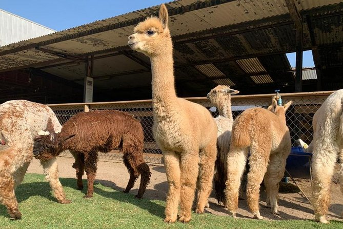 Private Full-Day Inca Adventure: Alpacas, Petroglyphs and Wine