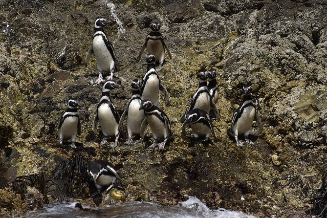 Premium Shared Full Day Excursion Ancud, Pinguineras Piñihuil and Campo Chilote