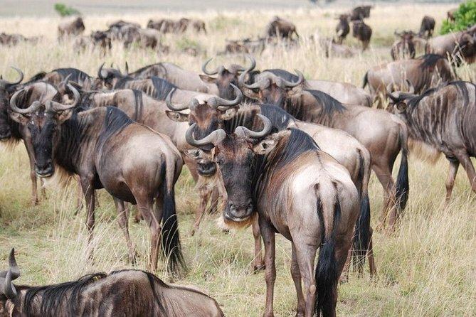 3-Day Guided Safari Tour of Maasai Mara Reserve from Nairobi