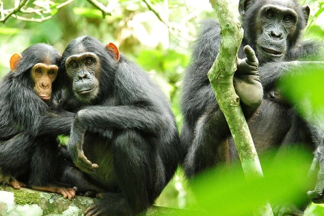 3 days Chimpanzee tracking Safari