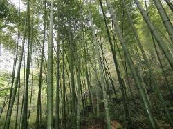 Tea Mountain Bamboo Sea