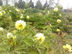 Heze Caozhou Peony Park