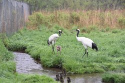 Kushiro City Red-crowned Crane Natural Park
