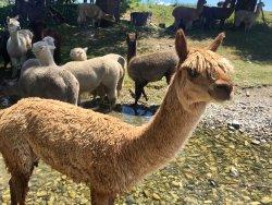 宝石羊驼农场