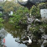 园中的大白鹅
