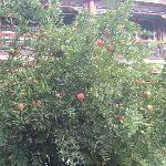 庭院内石榴树