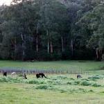 葡萄园、牧场和羊驼
