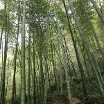 Tea Mountain Bamboo Sea Foto