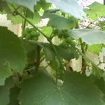 传说中的葡萄