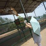 可爱的长颈鹿