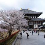 东大寺樱花