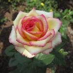 玫瑰的品种也很多哦