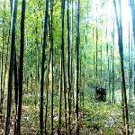 密密的竹林