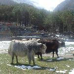 牦牛(假的)