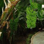 热带的水果香蕉也能在新疆长成这样挺不错